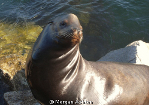 Sea Lion at the Coast Guard Jetty in Monterey. by Morgan Ashton