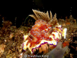 Nudi by Nautilus King