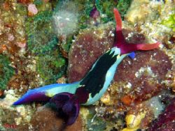 Nudibranches aux Philippines by Philippe Brunner