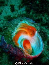Triton snail! by Elia Correia