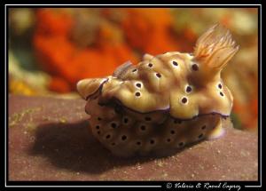 A fat one :-) (Risbecia tryoni) by Raoul Caprez