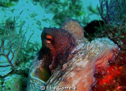 Octopus vulgaris! by Elia Correia