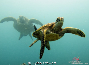 A young honu enjoys a cleaning station under the watchful... by Rylan Stewart
