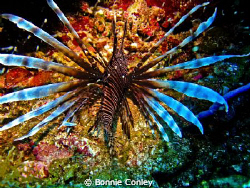 Lionfish seen in Grand Cayman August 2010.  Photo taken w... by Bonnie Conley
