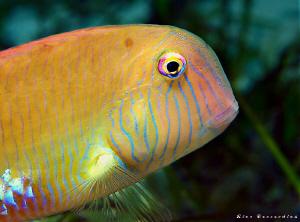 Razor-Fish by Rico Besserdich