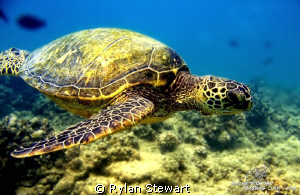 A honu glides by waiting his turn at the cleaning station by Rylan Stewart