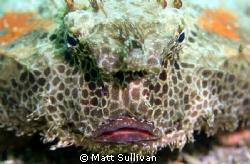 Polkadot Batfish by Matt Sullivan