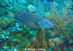 Parrotfish seen in Grand Cayman August 2010.  Photo taken... by Bonnie Conley
