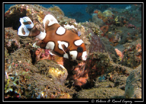This young one lives in the Liberty wreck (Tulamben). by Raoul Caprez