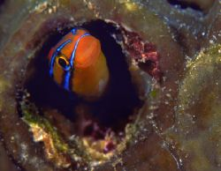 Blue-striped Blenny, Beqa Lagoon, Fiji (Nikon F4, 105mm M... by Andrew Dawson