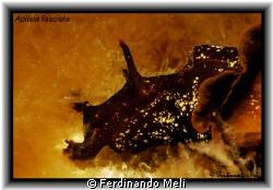 A very nice Aplisia fasciata in the Mediterranean sea. by Ferdinando Meli