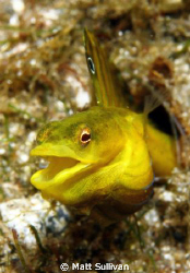 yellowface pikeblenny by Matt Sullivan
