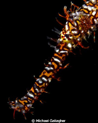 Ornate ghost pipefish portrait, taken whilst muck diving ... by Michael Gallagher