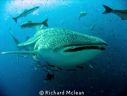 This was in April at SW Pinnacle in Gulf of Thai'. I got ... by Richard Mclean