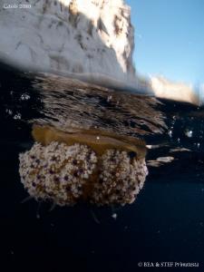 Jellyfish (Cotilorhiza tuberculata). Calanques de Cassis. by Bea & Stef Primatesta