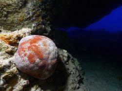 Pillow Starfish- Bat Cave, Saipan MP by Martin Dalsaso