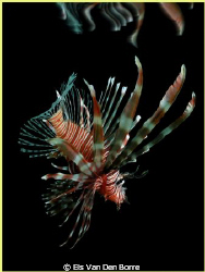 Lionfish in the dark by Els Van Den Borre