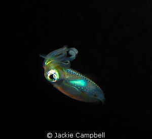 Baby squid...no more than 4-6cm in length. Spotted at th... by Jackie Campbell