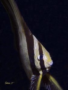 A beautiful batfish swimming by... by Sven Tramaux