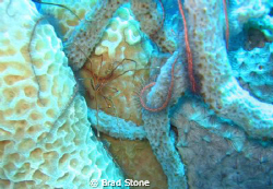 this is an arrow crab that I saw while diving. I took it ... by Brad Stone