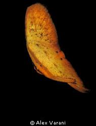 juvenile platax orbicularis by Alex Varani