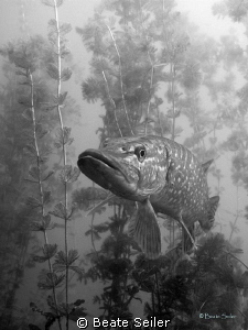 Northern Pike , black and white, taken with Canon G10 by Beate Seiler