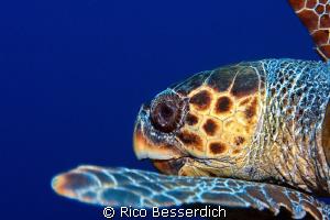 Caretta Caretta ( sea turtle ) by Rico Besserdich