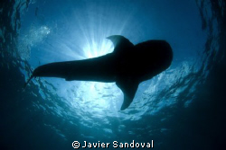 whale shark siluete by Javier Sandoval