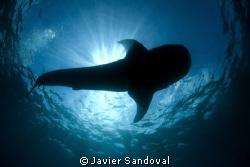 whale shark siluete by Javier Sandoval