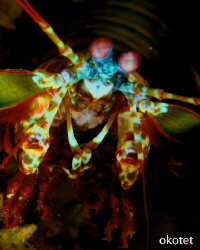 Found this mantis shrimp in Tinggo, Olanggo Island, Cebu.... by Oliver Ko
