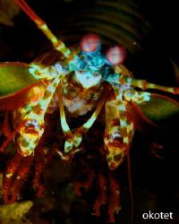 Found this mantis shrimp in Tinggo, Olanggo Island, Cebu.... by Oliver Ko