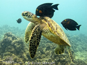 A small Honu gets cleaned by Rylan Stewart
