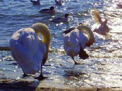Cygnes et mouettes au Lac Léman - Suisse by Philippe Brunner