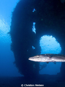 Giant barracuda with the Liberty wreck (Tulamben) as a ba... by Christian Nielsen