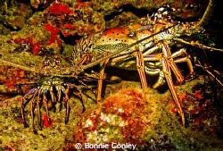 Lobsters seen in Grand Cayman August 2010.  Photo taken w... by Bonnie Conley