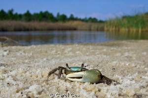 Green Fiddler Crab by Carol Cox
