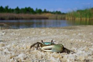 Green Fiddler Crab by Carol Cox