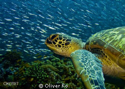 found this turtle on the reef swimming with a swarm of sa... by Oliver Ko