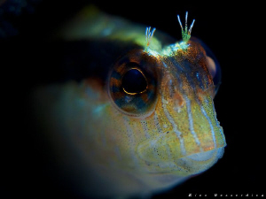 Blenny face by Rico Besserdich