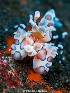 The harlequinn shrimps are inhabitants of the interesting... by Christian Nielsen
