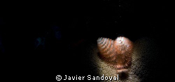 crismas tree worm snooted by Javier Sandoval