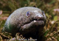 Snapper Eel by Matt Sullivan