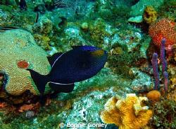 Black Durgon Triggerfish seen in Grand Cayman August 2010... by Bonnie Conley