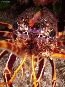 Crayfish (Palinurus elephas). by Bea & Stef Primatesta