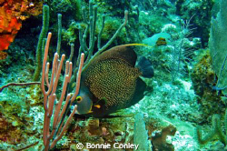 French Angelfish seen in Grand Cayman August 2010.  Photo... by Bonnie Conley