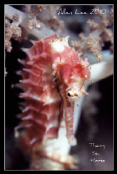 Thorny sea horse.Nikon F100,f13,1/60.YS-120,RVP100. by Allen Lee