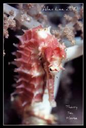 Thorny sea horse.Nikon F100,f13,1/60.YS-120,RVP100. by Allen Lee