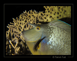 Spotted unicornfish on nigth dive in Marsa Shagra - Egypt... by Patrick Tutt