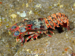 Regal slipper lobster by Stuart Ganz