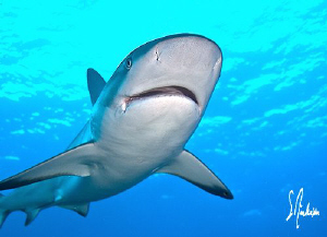 A friendly and curious Reef Shark at Ginormous - Bahamas by Steven Anderson